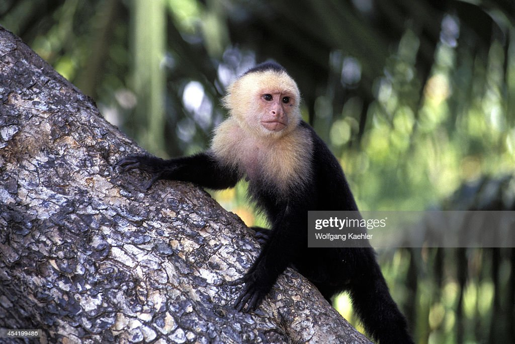 Costa Rica, Manuel Antonio Np, Rain Forest, White-faced Capuchin Monkey On Tree Trunk.
