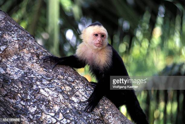 Costa Rica Manuel Antonio Np Rain Forest Whitefaced Capuchin Monkey On Tree Trunk
