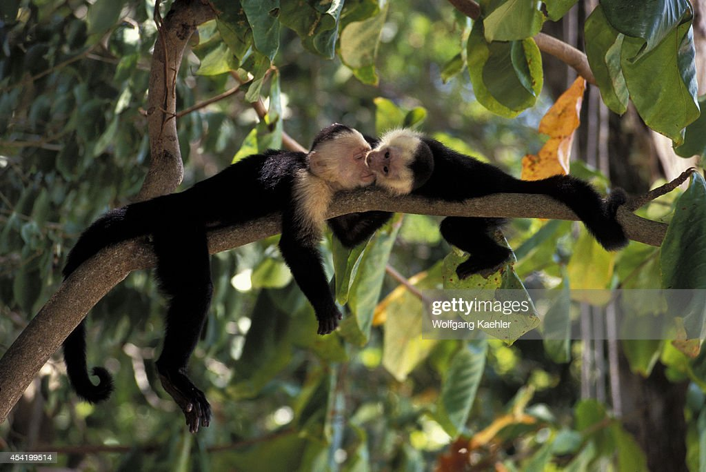 Costa Rica, Manuel Antonio Np, Rain Forest, White-faced Capuchin Monkeys, Baby Playing.