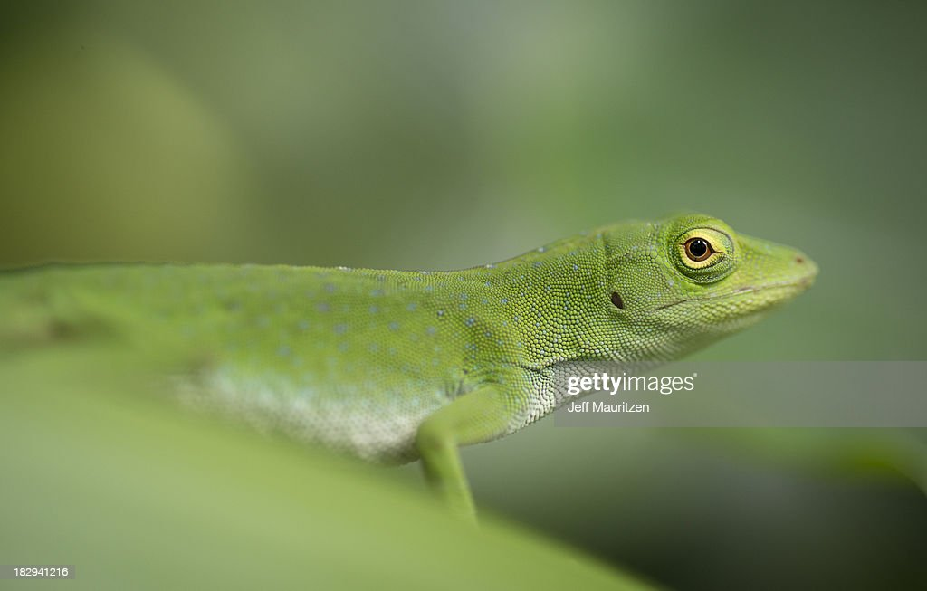 A green anole sits on a leaf.