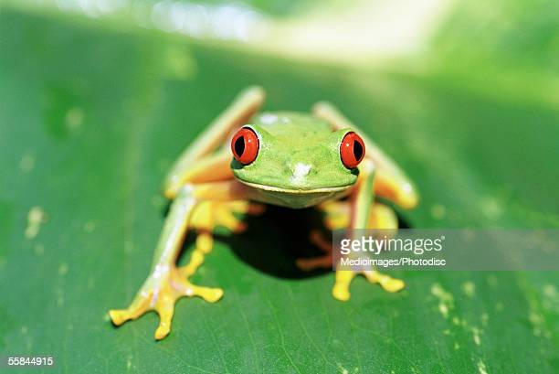 Costa Rican Red-eyed Treefrog (Agalychins callidryas)