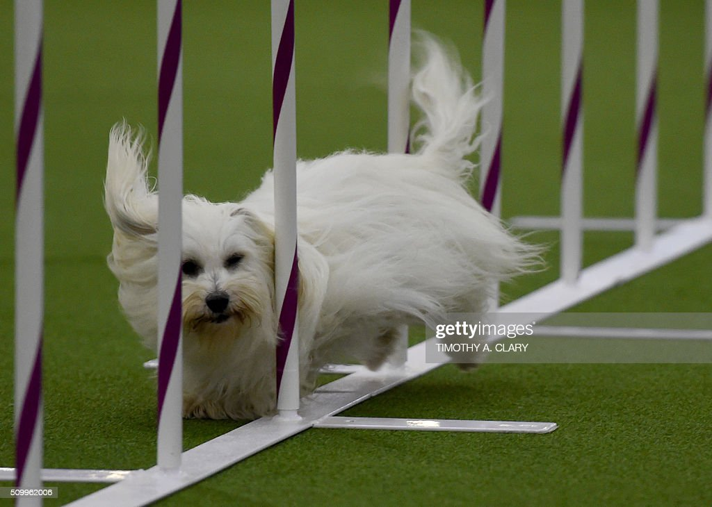 A Coton De Tulear runs the agility course during the 3rd Annual Masters Agility Championship on February 13, 2016 in New York, at the 140th Annual Westminster Kennel Club Dog Show. Dogs entered in the agility demonstrate skills required in the challenging obstacles that they will need to negotiate. / AFP / Timothy A. CLARY
