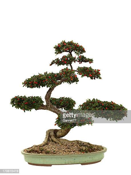 Cotoneaster Bonsai on white