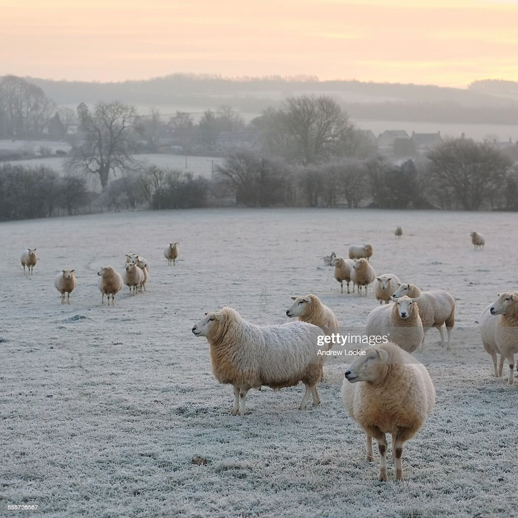 Cotswold sheep in winter