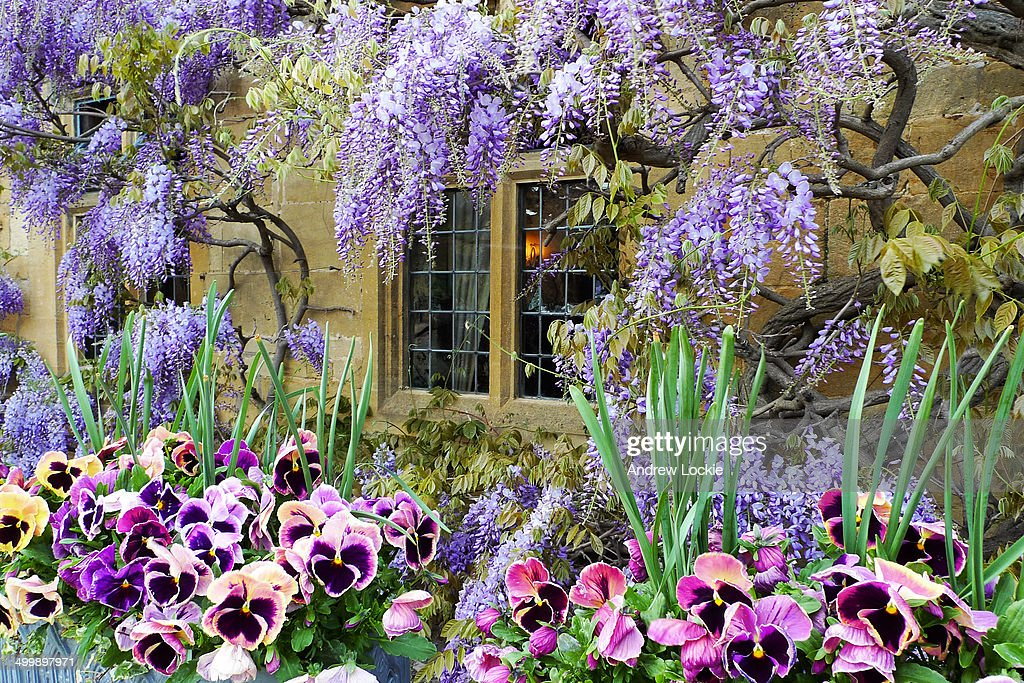 Cotswolds Wisteria On Broadway High Street