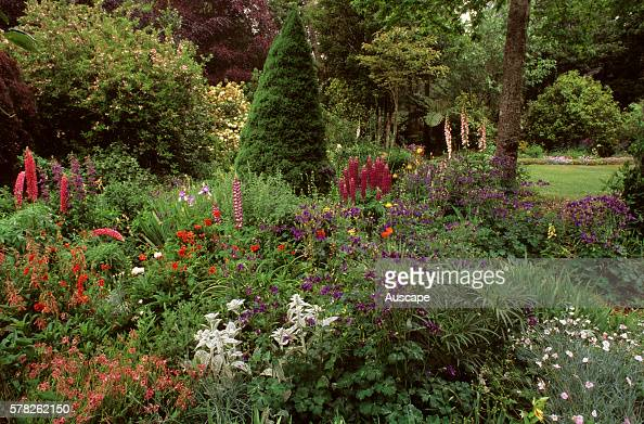 Cottage garden with columbines lambsears lupins foxgloves and geums Aquilegia Stachys byzantina Lupinus x regalis Digitalis purpurea Geum chiloense...