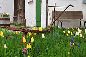 rusty old plough in small cottage garden with tulips and hyacinths in front of old farmhouse