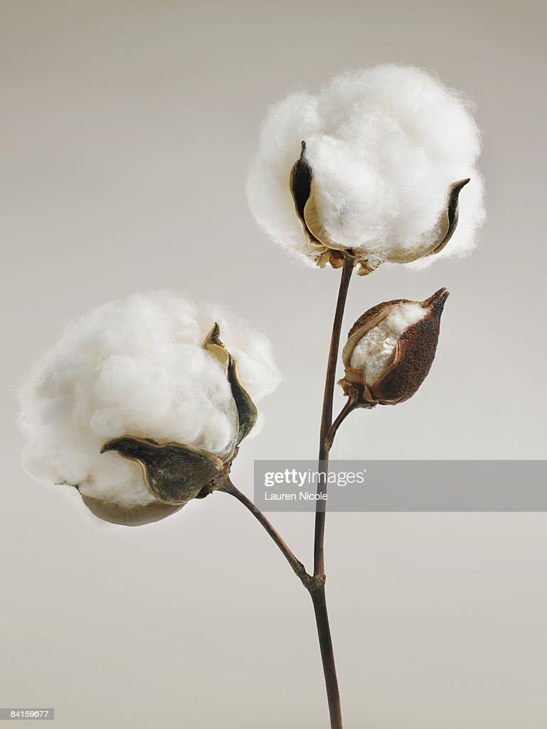 Cotton Blossoms
