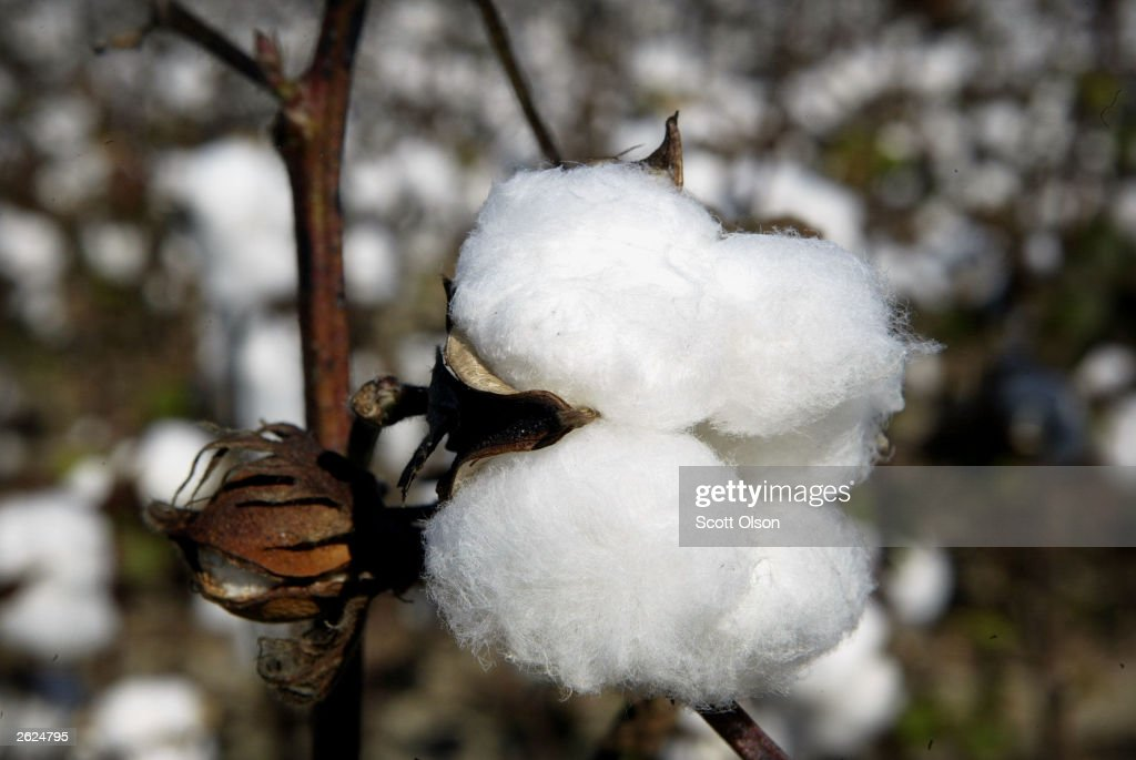 A cotton boll waits to be harvested on BTC farm October 19 2003 near Clarksdale Mississippi BTC raises 1000 acres of cotton 80% of which is...