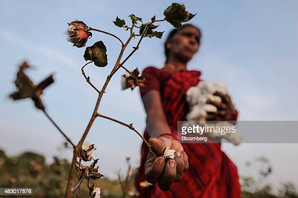 Cotton bolls grow on a plant as Shobha Singh Bais whose husband committed suicide by eating rat poison picks the crop at her field in Yavatmal...