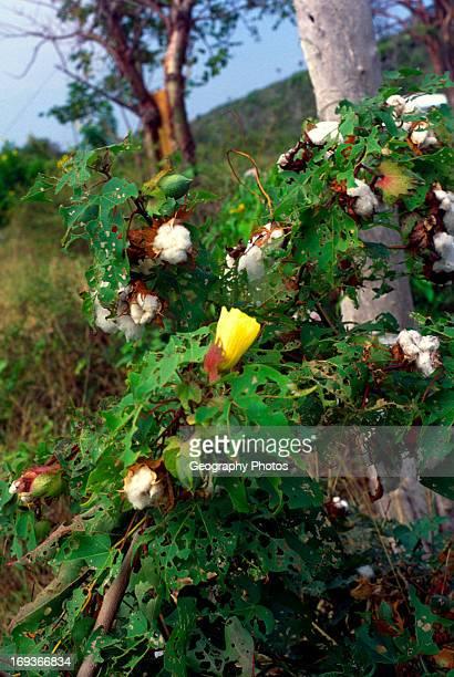 Cotton bush Cayman Brac Cayman Islands British West Indies