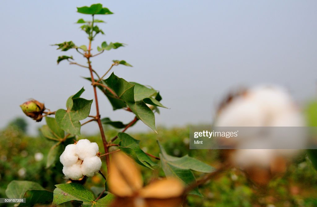 Cotton crop in a field on October 24, 2013 in Haryana, India.