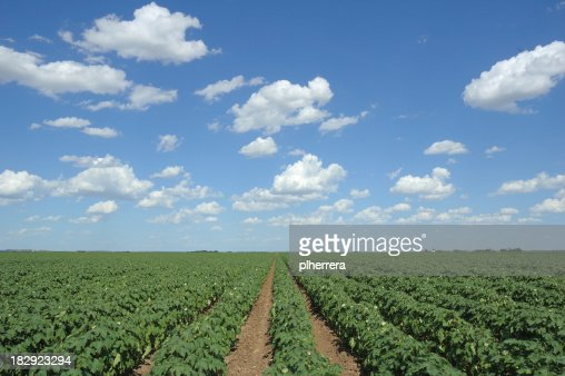 Cotton Field and Clouds