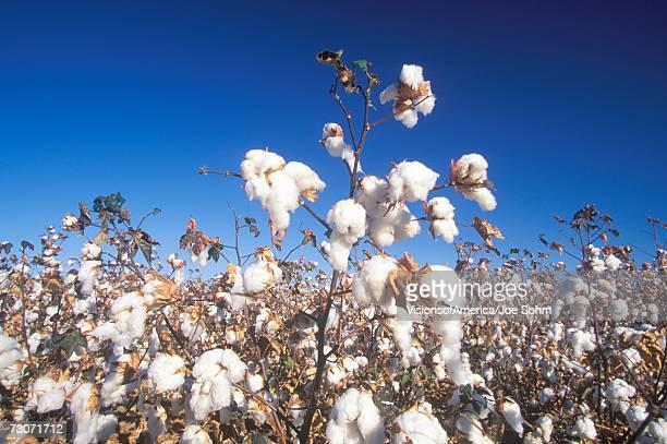 'Cotton field in Tucson, AZ'