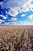 Cotton field, Lake Menindee, NSW, Australia