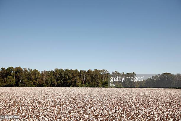 A cotton field under a clear blue sky.