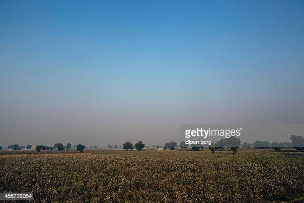Cotton fields stand on a farm in Pilibanga Rajasthan India on Wednessday Nov 5 2014 India may topple China as the world's largest cotton grower next...