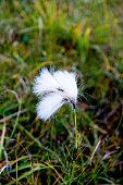 Cotton grass at Latrabjarg Westfjords Iceland