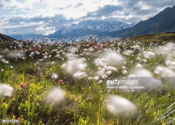 Cotton grass, Maloja, Switzerland