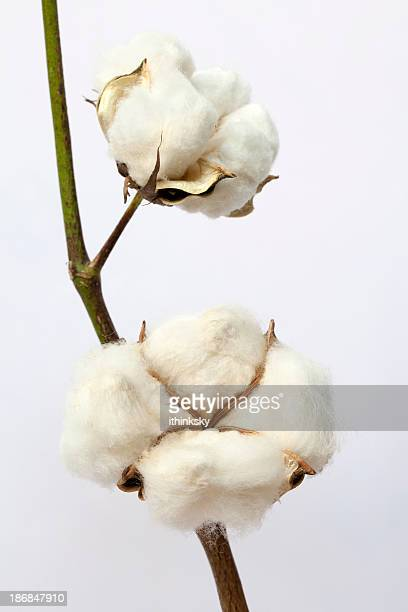 De algodão