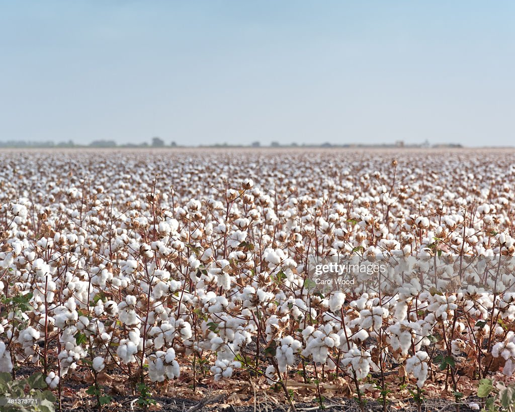 Cotton ready to be harvested