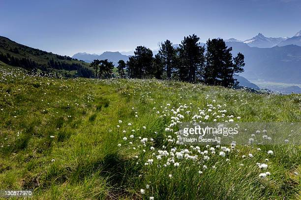 Cottongrass (Eriophorum) and a small forest on Mount Niederhorn with panoramic mountain view, Interlaken, Canton of Bern, Switzerland, Europe