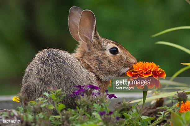 Cottontail Rabbit sitting on a meadow with an orange Marigold flower.