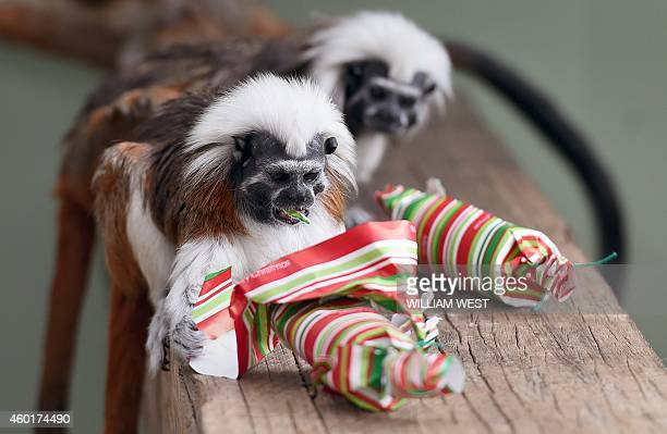 A CottonTop Tamarin inspects it Christmas cracker as they discover some giftwrapped food treats and other tasty decorations in their exhibit at...