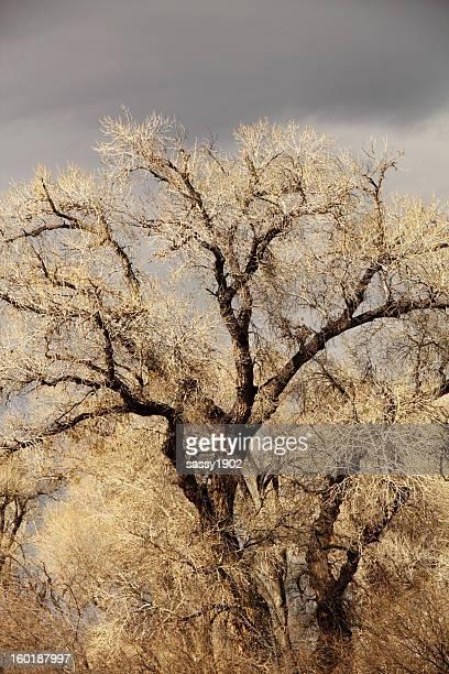 Cottonwood Fremont Tree