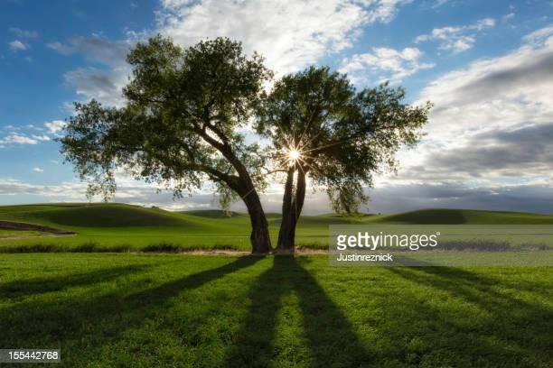 Cottonwood Tree and Sunburst
