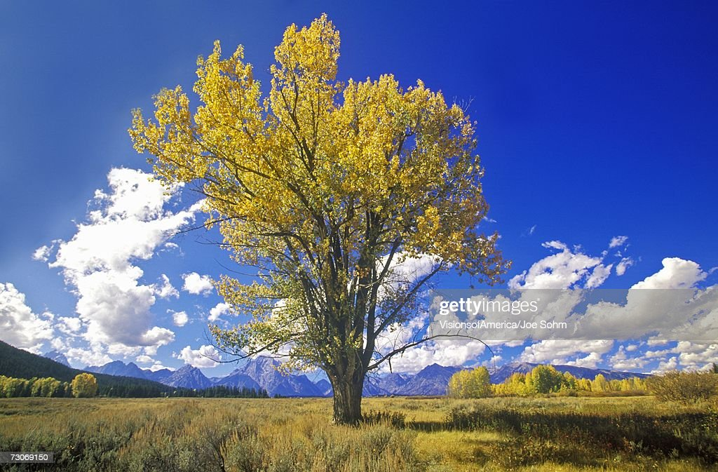 'Cottonwood tree in fall colors, Grand Teton National Park, Jackson, WY' : Stock Photo