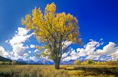 'Cottonwood tree in fall colors, Grand Teton National Park, Jackson, WY'