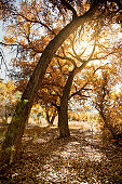 Cottonwood Tree in Fall with Sunburst