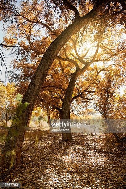 Cottonwood Tree in Fall with Sunburst