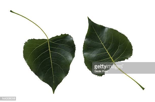 Cottonwood Tree Leaves