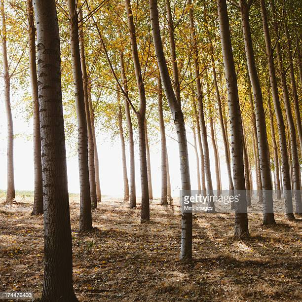 Cottonwood trees planted in ordered rows, casting long shadows on the ground. Commercial arboriculture, a tree nursery or farm.