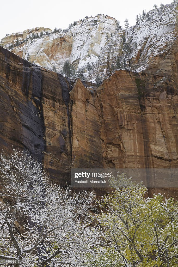 cottonwood trees, red sandstone walls, Zion N.P. : Stock Photo