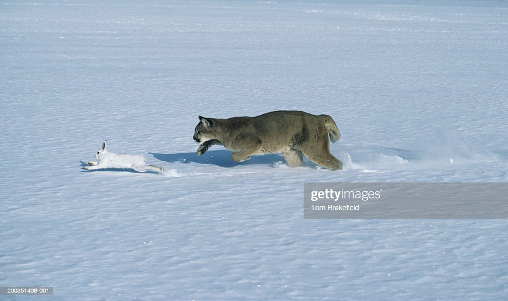 Cougar chasing snowshoe rabbit, varying hare on snow