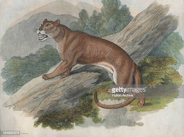 A cougar or puma of the Americas circa 1850