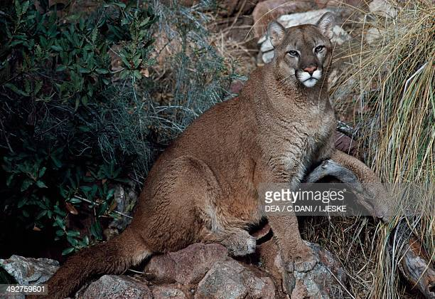 Cougar Puma or Mountain Lion Felidae