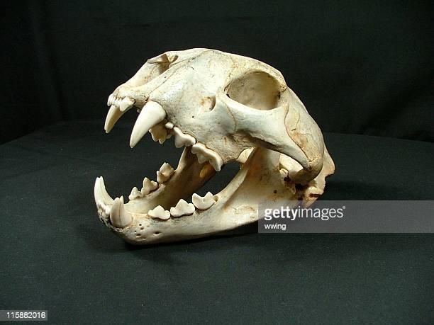 Cougar Skull Showing Canine Teeth
