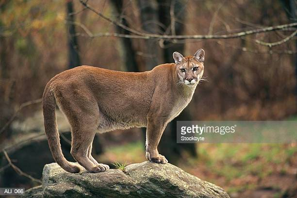 Cougar standing on rock