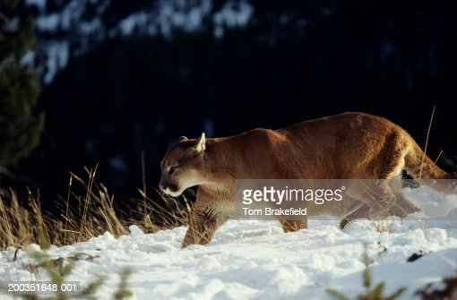 Cougar walking in snow beside snowy alpines, Montana, USA : Stock Photo