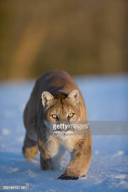 Cougar (Felis concolor) walking in snow
