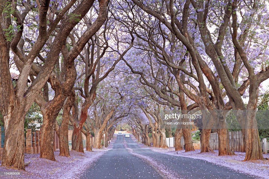 Country road and Jacaranda trees, Pretoria, South Africa
