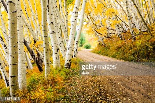 カントリーロードを秋のアスペンの木の天蓋