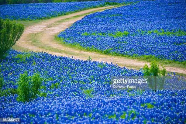 Country road thru bluebonnets,Texas