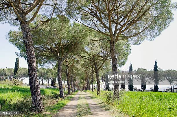 Country road with pine and cypress avenue