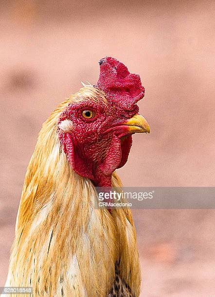 Country Rooster. Red crest.