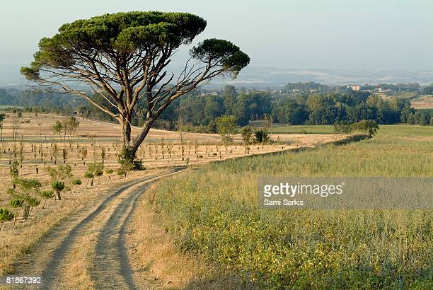 Countryside path passing by an old lonely Pine Tree, France, Alzonne, Carcassonne